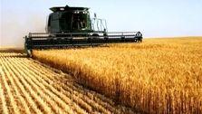 قیمت گندم در سال زراعی آینده حدود ۴۰۰۰ تومانی افزایش مییابد