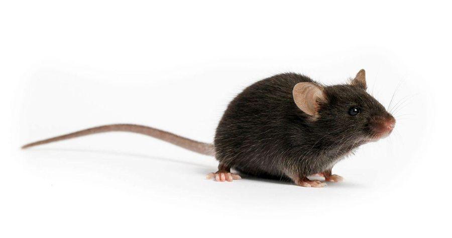 آیا نجات بشریت از کرونا بستگی به این نوع موش دارد؟
