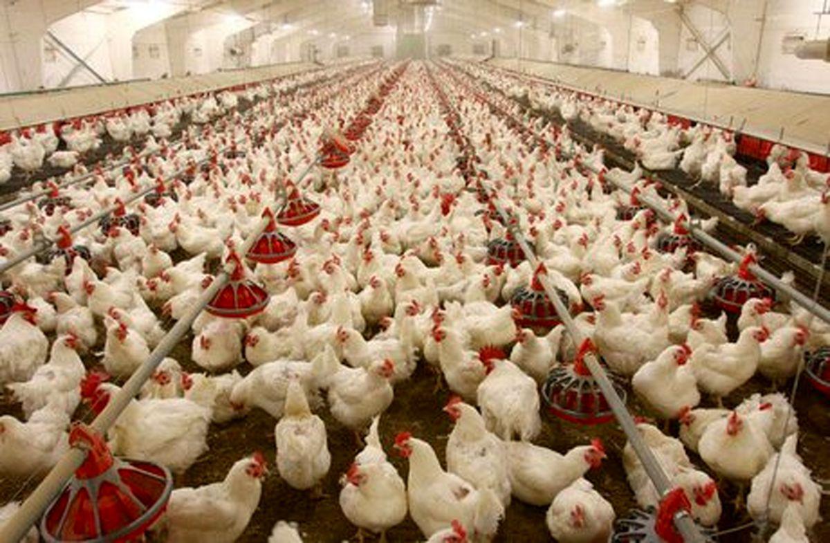 نهادههای دامی با  ۴۰ روز تاخیر به دست مرغداران می رسد