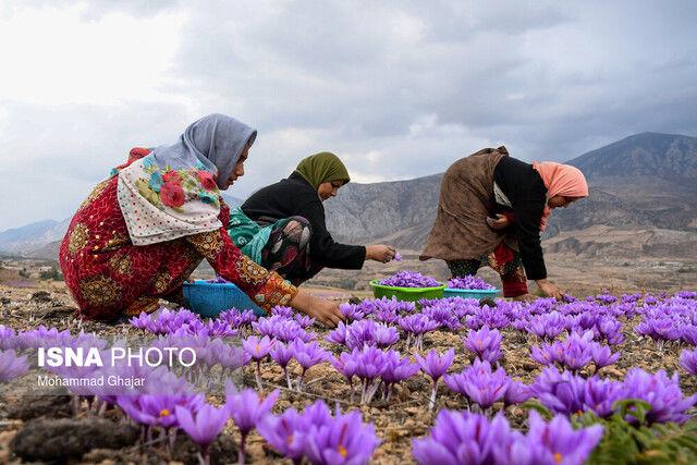 کرونا صادرات زعفران را کاهش داد